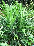 Pandanus amaryllifolius - Pandan leaf - Asian cooking herb