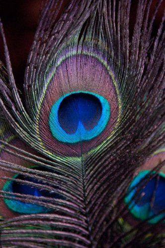 Peacock Feathers II, Fine Art Photograph By: Erin Berzel; On