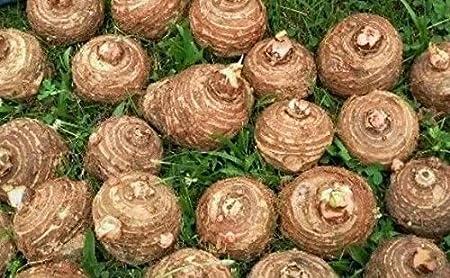 Amazon Com Sophisticate Organic Seeds 6 Bulbs Colocasia