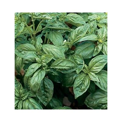 Basil Genovese Compact Improved Ocimum basilicum 1, 000 seeds : Garden & Outdoor