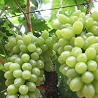 Portal Cool Las Uvas Negras sin semilla (20 Semillas.: Semillas 20Pcs / Bolsa Deliciosa de la Fruta Dulce de UVA Inicio…