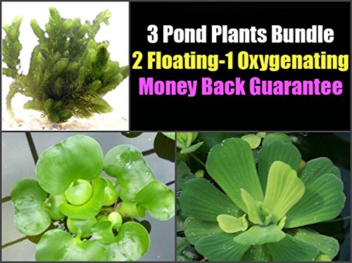 (3 Pond Plants Bundle - Water Lettuce, Water Hyancinth and Hornwort)