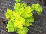 2 Citronella Heuchera/coral Bells One Gallon