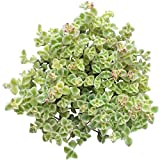 succulent ground cover Sedum Little Missy Ground Cover Long Strand Trailing Hanging Succulent (4 inch)