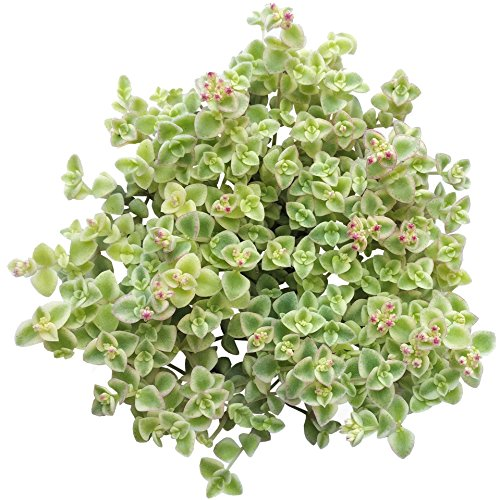 Sedum Little Missy Ground Cover Long Strand Trailing Hanging Succulent (4 inch)