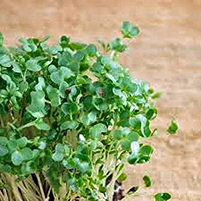 Curled Cress Seed, Sprouts, Heirloom, Organic 100 Seeds, Broadleaf, Micro Greens