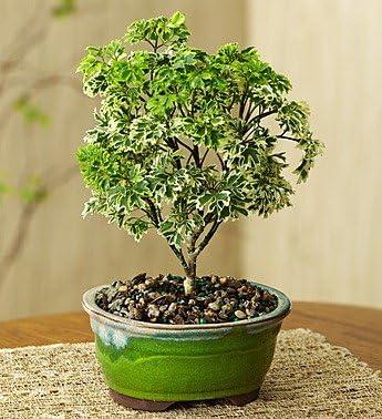 Amazon Com Dwarf Ming Aralia Bonsai Small 1 800 Flowers Artificial Flowers Garden Outdoor