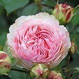 André Eve - Rosier Grimpant Pierre De Ronsard Meiviolin - Pot 5 Litres - Couleur : Rose