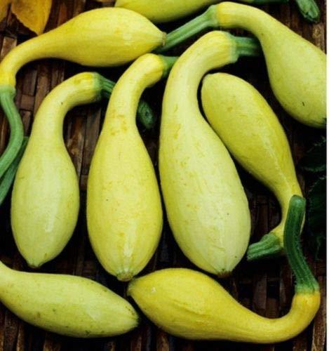 Maiz Morado Purple Flint Corn Seed - Heirloom Peruvian Maize Seeds (3 LB - 5 LB) by AchmadAnam