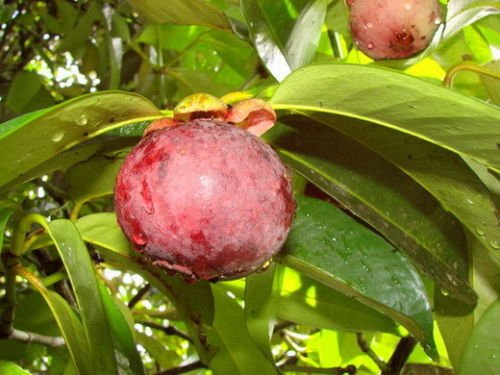 Mangosteen Tree Plant ''Mangkhud'' Tall 22'' Delicious Queen Of Fruit From Thailand