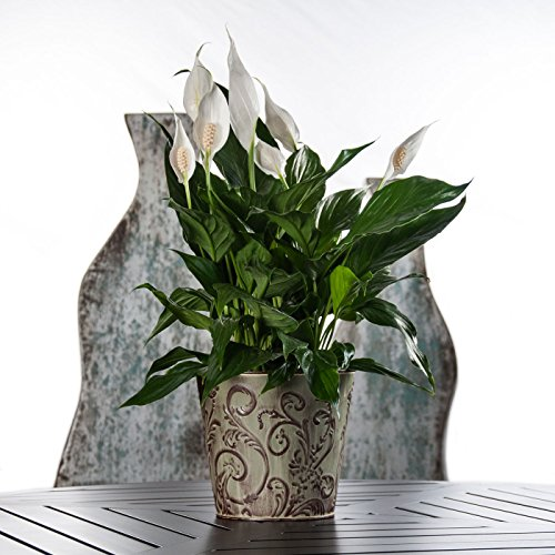 Green Funeral Plant (Sympathy Gift Peace Lily in Flower Swirl Pot - Live Plant Gift - Green Gift - Sympathy Gift - Sympathy Plant - Bereavement Gift - Bereavement Plant - Ships fast via 2-Day Air)