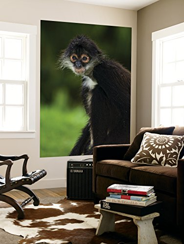 Yucatan Spider Monkey (Ateles Geoffroyi Yucatanensis), Xcaret Eco Theme Park Wall Mural by Guylain Doyle 48 x 72in