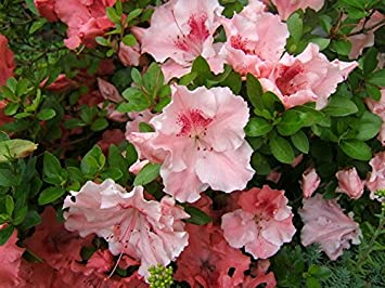 Amazon 1 Gallon Hilda Niblett Azalea Huge 4 Soft Pink