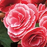 Cheap Amerihybrid Tuberous Begonias Picotee Lace Red | Laced Tuberous Begonia Bulbs | Ships From Easy to Grow TM