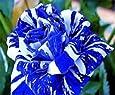 graine de rose rosier bleu rayure blanche bleu dragon lot de 20 graines