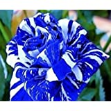 graine de rose rosier bleu rayure blanche bleu dragon lot de 20 graines