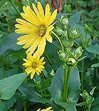 """10 Stück""""Durchwachsene Silphie"""", Becherpflanze. Top"""