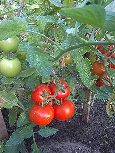 1.5 g Seeds of Solanum lycopersicum, Tropic VFN Tomato