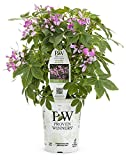 Cheap Pequena Rosalita Spider Flower (Cleome) Live Plant, Pink Flowers, 4.25 in. Grande, 4-pack