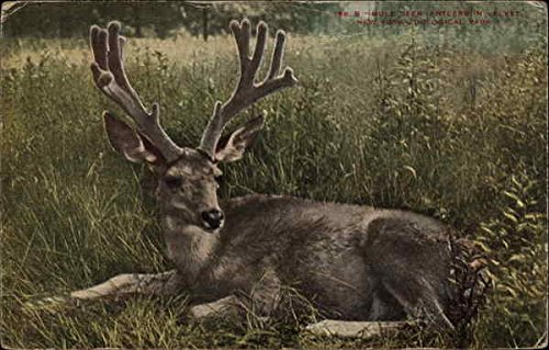 Deer with antlers laying in the grass Original Vintage Postcard