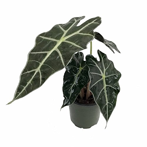 Amazon Black Shield Plant - Alocasia Polly - Live Houseplant - Clean Air! by Florida Foliage (Image #2)'