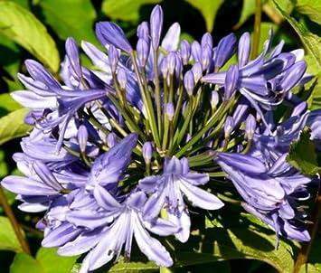 Amazoncom Lily Of The Nile Agapanthus Headbourne Hybrids 20