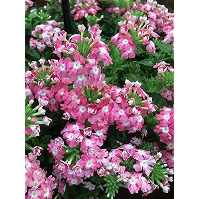 Perennial Farm Marketplace Verbena EnduraScape 'Pink Fizz' (Vervain) Perennial, Size-#1 Container, Pinkish-White Bi-Color Blooms : Garden & Outdoor