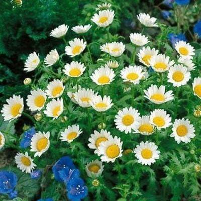Creeping Daisy 200 Seeds Chrysanthemum Paludosum