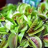 Venus Flytrap Seeds for Planting | 10 Seeds | Grow