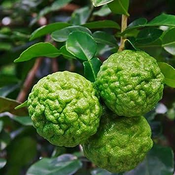 Portal Cool 30 piezas raras semillas de lima kaffir planta del árbol de limón Decoración Bonsai Semillas de marihuana
