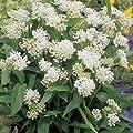 Outsidepride Swamp Milkweed Asclepias Incarnata White Plant Seed 500 Seeds