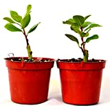9GreenBox TWO Bay Laurel plants - Bay Leaf - GREAT HERB four inch