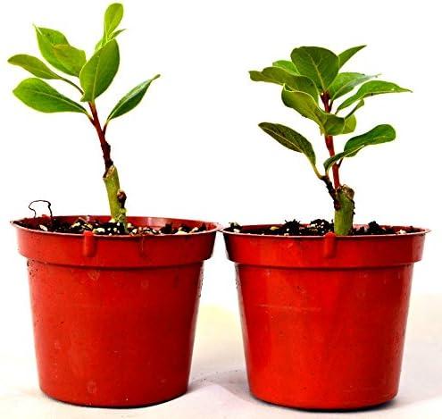 9GreenBox -2 Set Bay Laurel Herb – 4 Pot Total 2 4 Pot