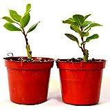 """9GreenBox -2 Set Bay Laurel Herb - 4"""" Pot Total 2 4"""" pot"""