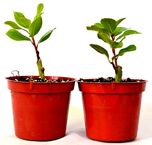 "9GreenBox -2 Set Bay Laurel Herb - 4"" Pot Total 2 4"" pot"