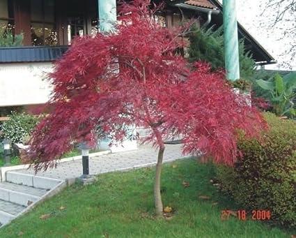 Amazoncom Red Lace Leaf Japanese Maple Acer Palmatum