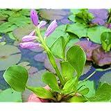 (5) Water Hyacinths; (5) Water Lettuce; (5) Parrots Feather; Nursery Grown in Aquatics Plants Nursery; Live Water Garden Pond Plants (15, Water Lettuce; Water Hyacinths; Parrots Feather Bundle)