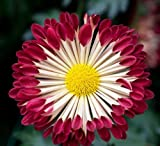 50 Chrysanthemum Burgundy White Seeds