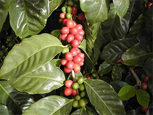 Coffea Plant Seeds  MEXICAN COFFEE BEAN  Mellow Flavour  GMO FREE  25+ Seeds