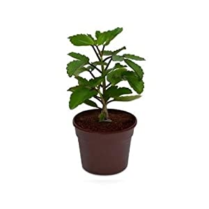 Natures Buggy Tulsi Live Plant