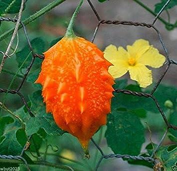 Amazon com: JAMAICAN CERASEE SEEDS- Bitter Melon-bitter Gourd, Use