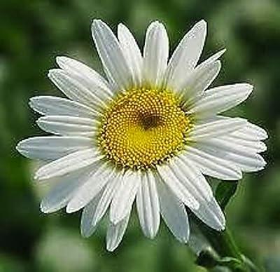 50 Seeds Daisy Queen 'Becky' Shasta Daisy – Perennial