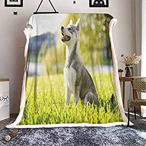 Cranekey Alaskan Malamute Sherpa King Blanket Klee Kai Puppy Sitting on Grass Looking Up Friendly Young Cute Animal for Bed or Couch Ultimate Sherpa Throw Multicolor W59xL47 inches 13