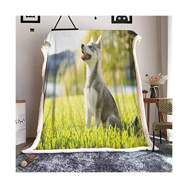 Cranekey Alaskan Malamute Sherpa King Blanket Klee Kai Puppy Sitting on Grass Looking Up Friendly Young Cute Animal for Bed or Couch Ultimate Sherpa Throw Multicolor W59xL47 inches 1