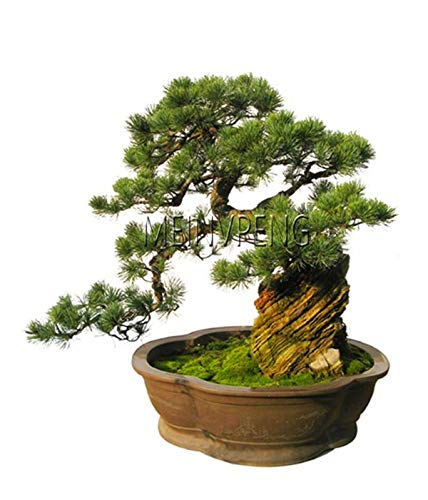 New 2018!Black Pine Tree Bonsai Potted Landscape Japanese Five Needle Pine Bonsai Miniascape Pinus ()