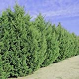 Leyland Cypress Trees Plant Garden Outdoor Fast Growing Size: 3-4 ft