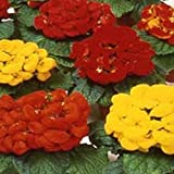 Slipper Flower- (Calceolaria Herbeohybrida) Fashion Mix - 50 seeds