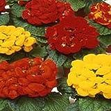 Slipper Flower- (Calceolaria Herbeohybrida) Fashion Mix - 50 seeds