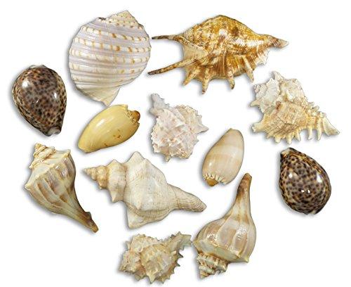 - Assorted Large Seashells: Tiger Cowrie, Pink Murex, Fox Shell, Melo Diadema, Lightning Whelk, Tonna Tessalata, Lambis Lambis, Murex Ramosus, 12 Pieces