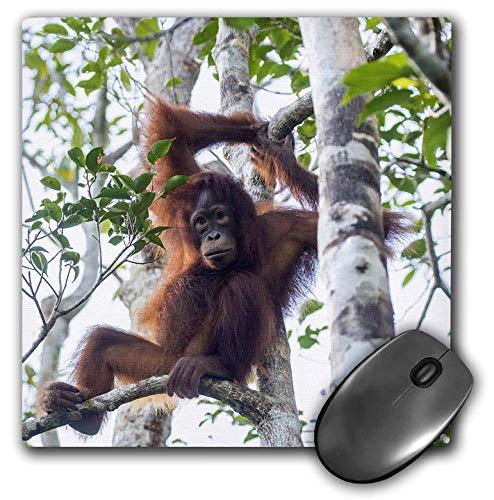 3dRose Danita Delimont - Orangutans - Indonesia, Borneo, Kalimantan. Orangutan at Tanjung Puting NP. - Mousepad (mp_312726_1)